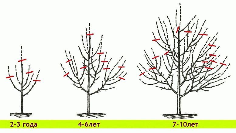 формирование молодой яблони