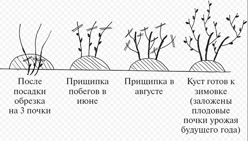 схема сезонной обрезки смородины