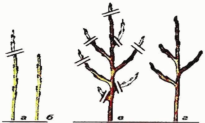 формирование карликовой яблони