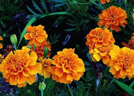 цветущие бархатцы