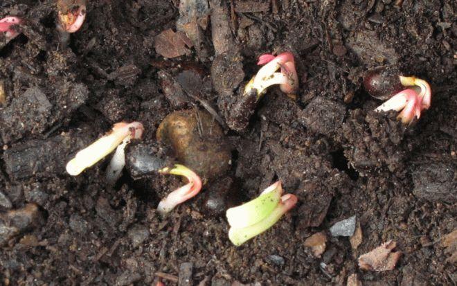проращивание семян пиона