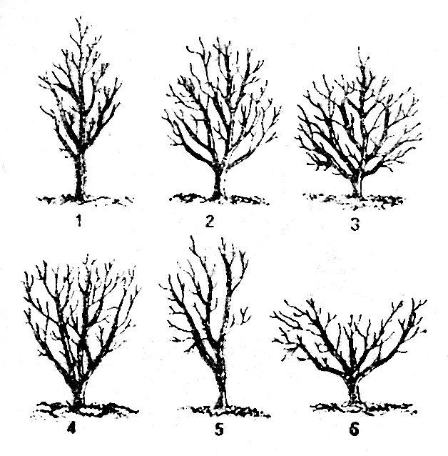 форма кроны груши