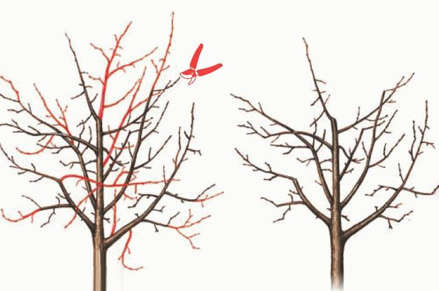 схема обрезки грушевого дерева