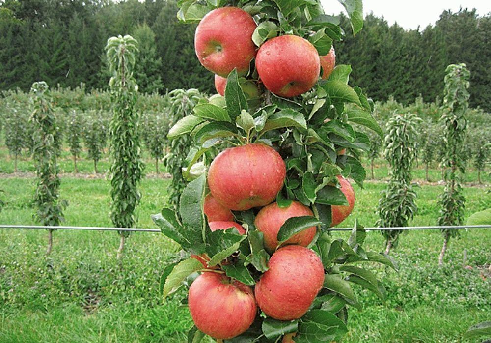 ветка колоновидной яблони