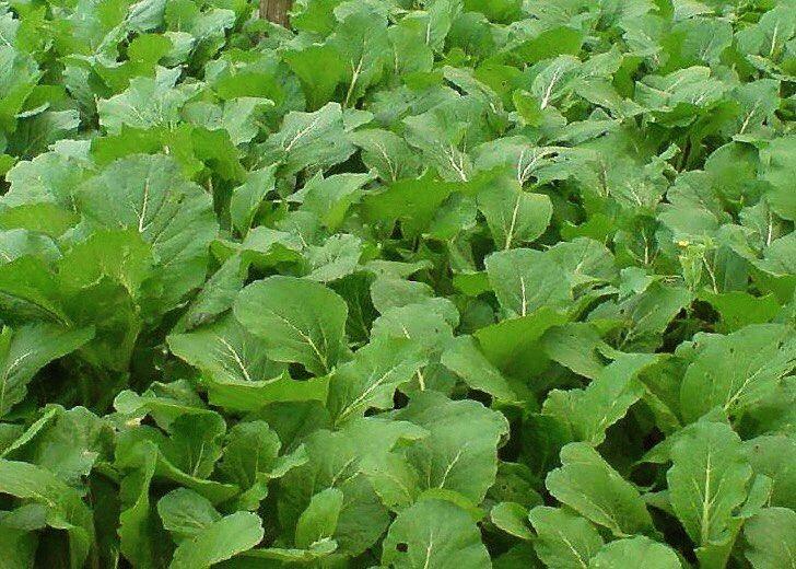 фото листовой горчицы