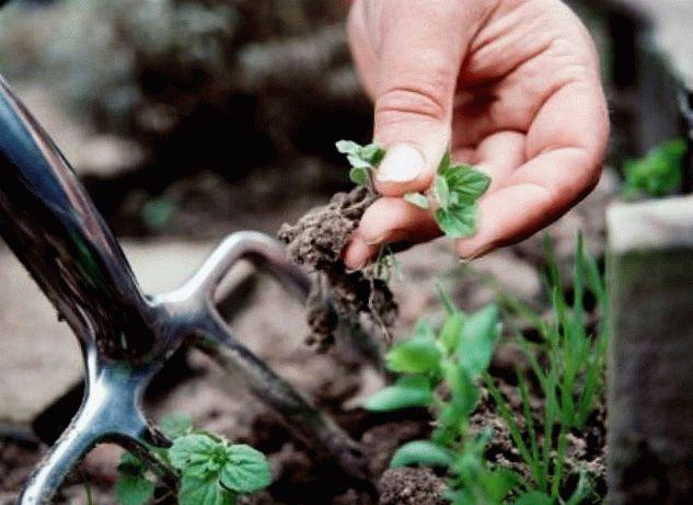 выкапывание сорняка вилами
