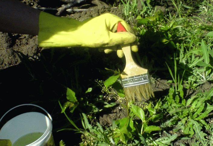 обработка сорняков при помощи кисточки