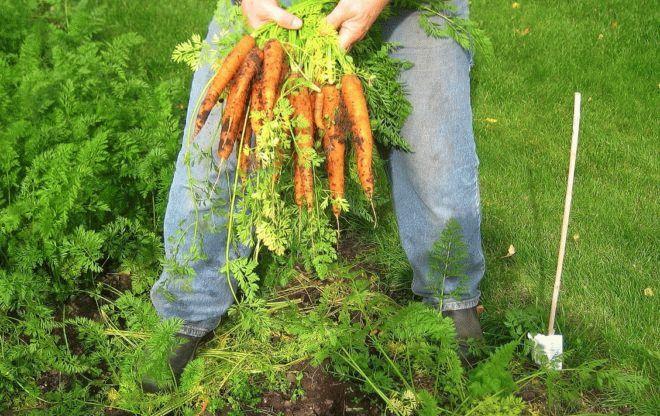 человек с охапкой моркови с грядки