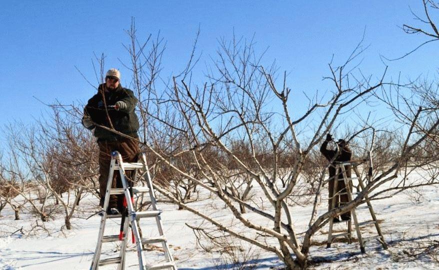 обрезают деревья зимой на стремянке