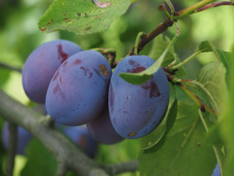 ветка сливы с плодами