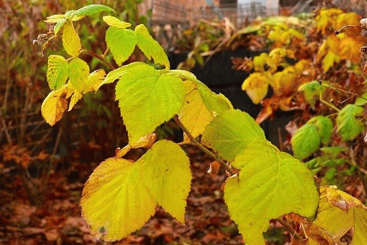 осенние листья малины