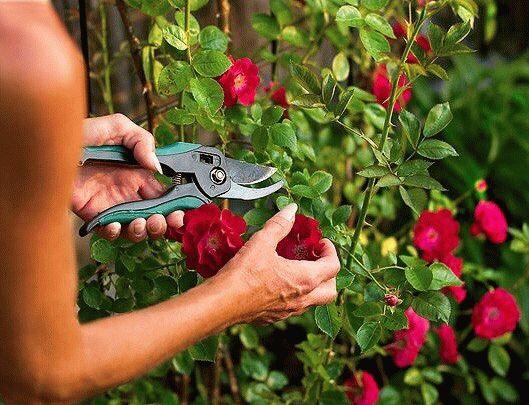 обрезка роз секатором