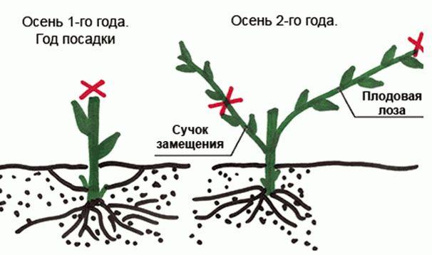 схема обрезки винограда 1