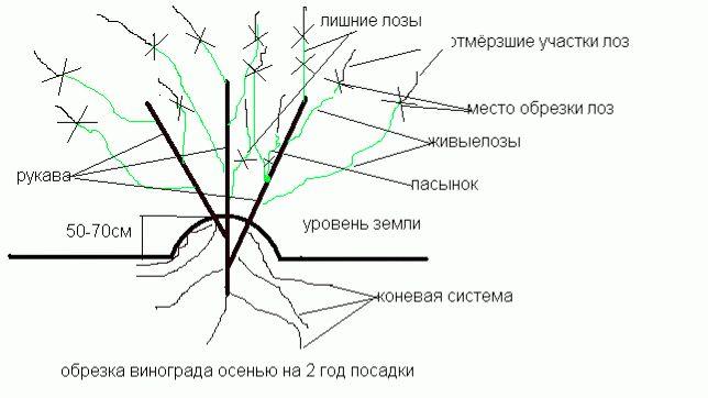 схема обрезки винограда 2