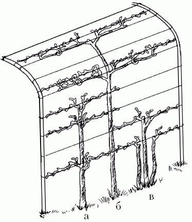 схема винограда 4