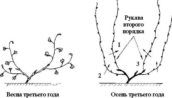 схема винограда 5