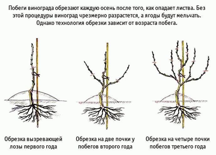 схема обрезки винограда 6