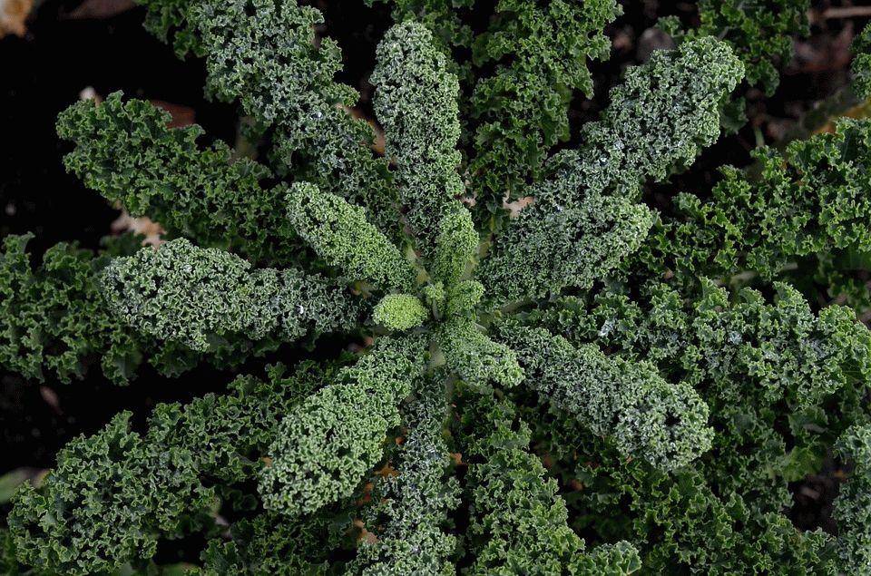 Листовая капуста: фото, виды с названиями, выращивание