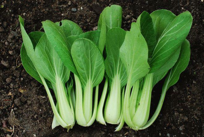 как выращивать капусту пак чой