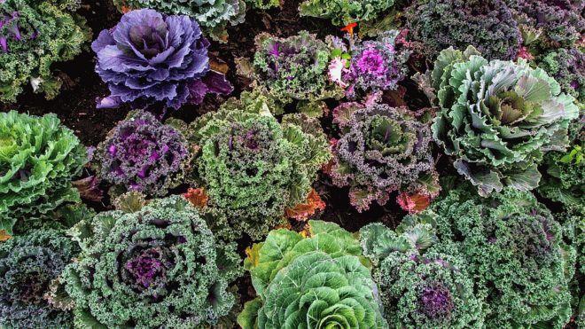 разнообразие капусты кале