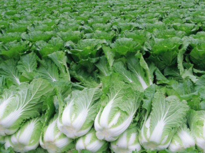 фото пекинской капусты