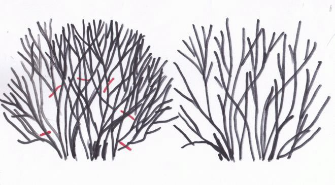 схема обрезки загущенного кустарника
