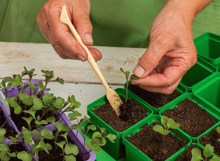 пикировка декоративной капусты