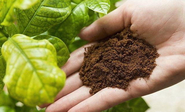 Спитой кофе - органическое удобрение