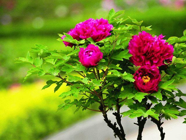 Цветущий древовидный пион