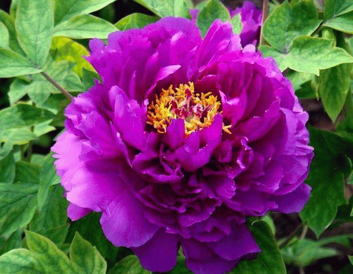Фиолетовый лотос