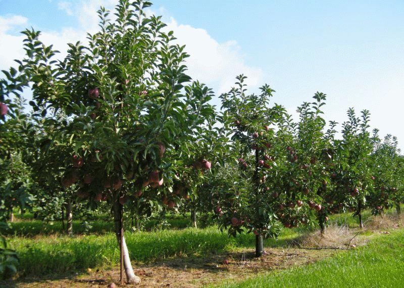 фото яблоней