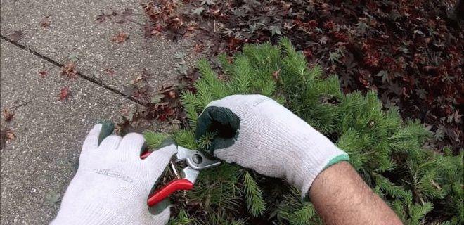 человек обрезает хвойное растение