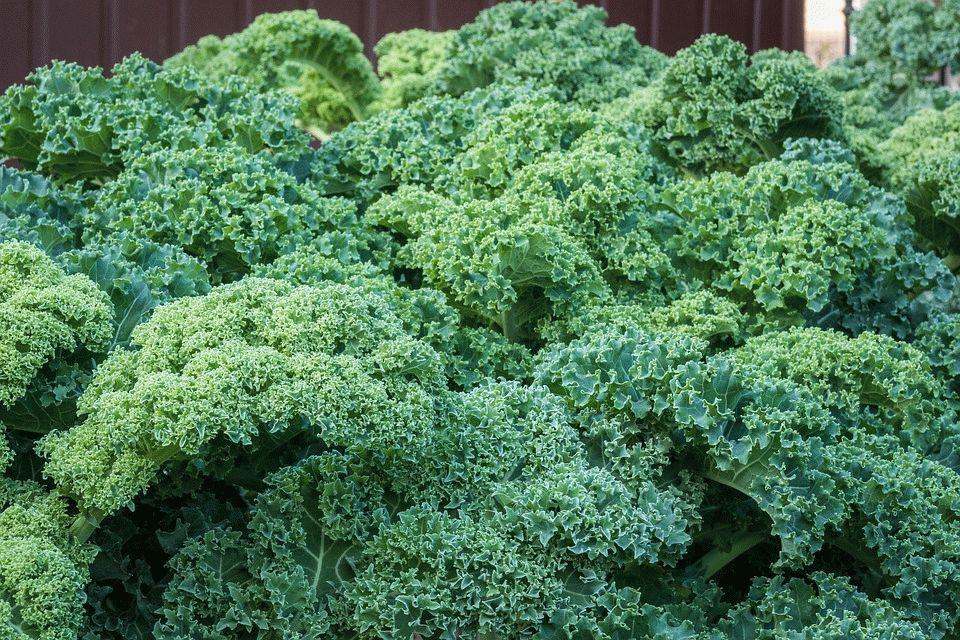 Полезные свойства и правила выращивания капусты Кале