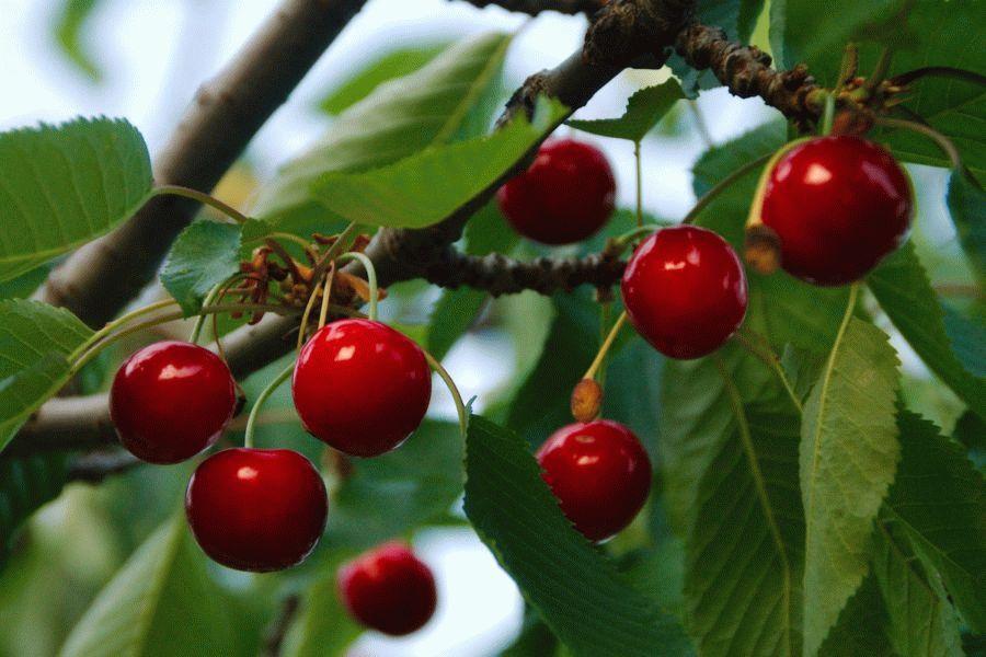 вишнева ветка