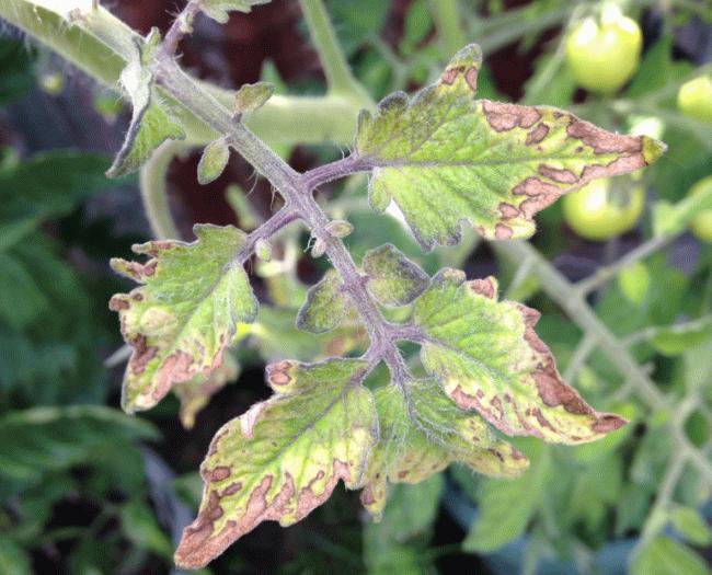 нехватка калия у томатов