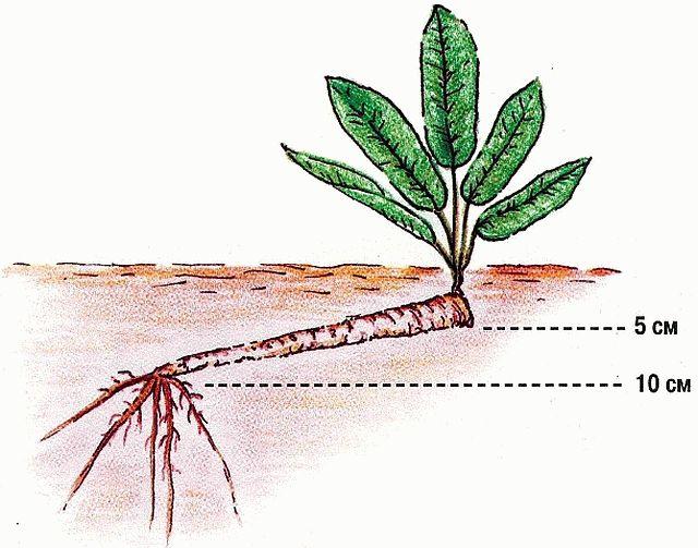 Схема посадки черенков хрена