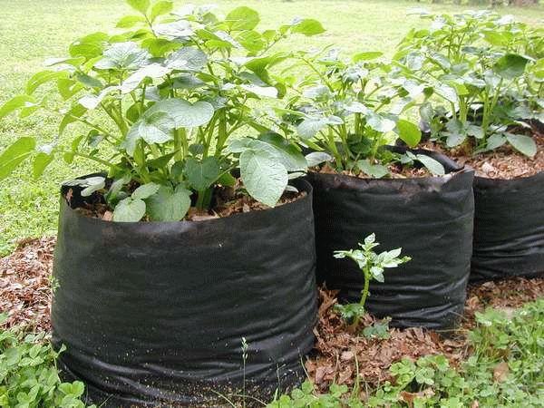 картошка растет в черных мешках