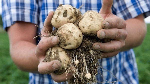 мужчина держит картофель