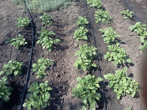 капельные трубки на картофельных грядках