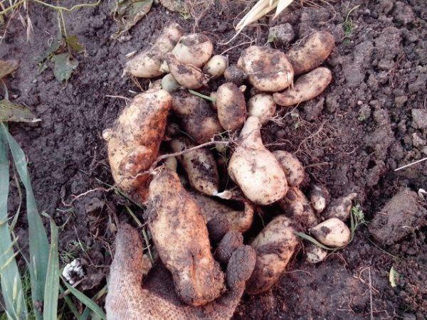 изросший картофель
