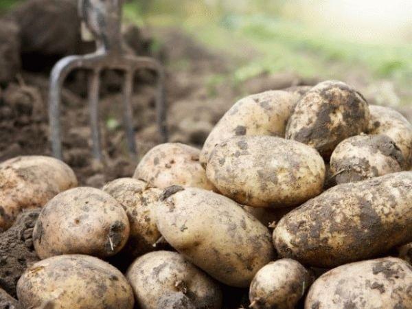 картофель и вилы