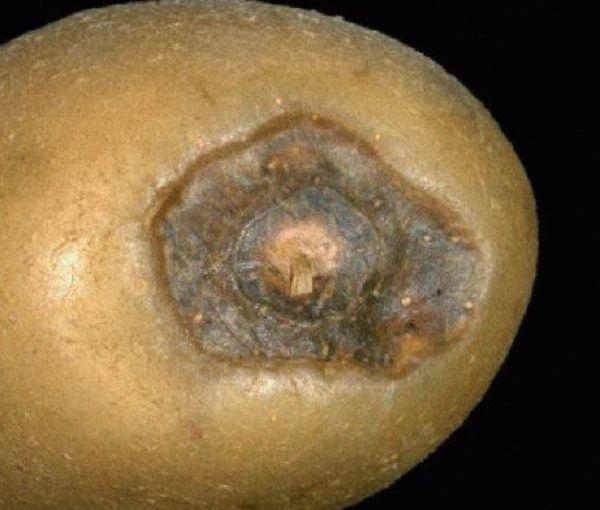 макроспориоз картофеля