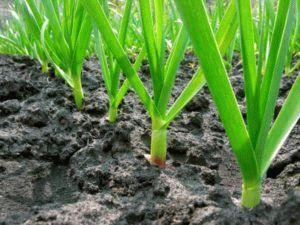Что можно посадить после чеснока: особенности севооборота