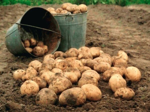 Сколько растет картошка от посадки до урожая