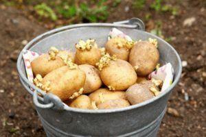 Как подготовить картофель к весенней посадке