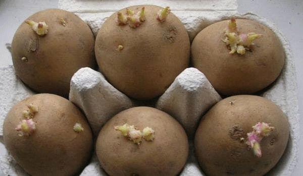 семена картофеля в лотках