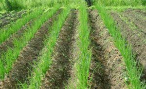 Выращивание лука по китайской технологии
