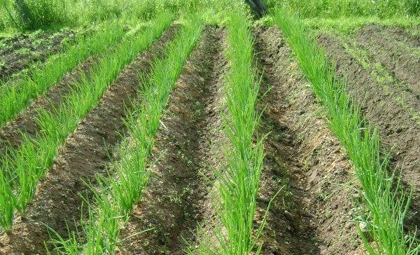 поле лука