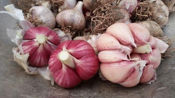 Как отличить яровой чеснок от озимого. Сорта и выращивание