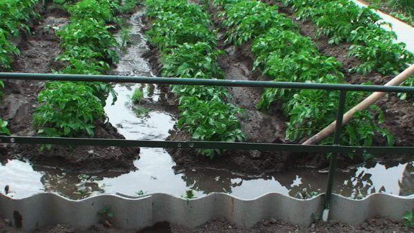 полив картофеля по бороздам
